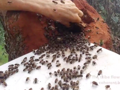 Video BACK IN TREES – Setting tree cavities for honey bees